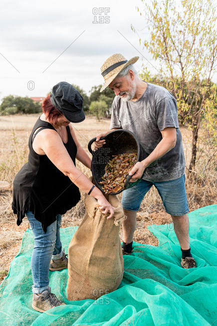 Farmers in casual clothes putting nuts from bucket into bag while standing on mesh in countryside