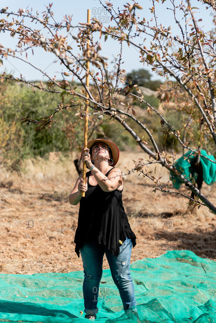 Positive female wearing casual summer outfit and hat knocking almond tree by using long wooden stick during harvest season