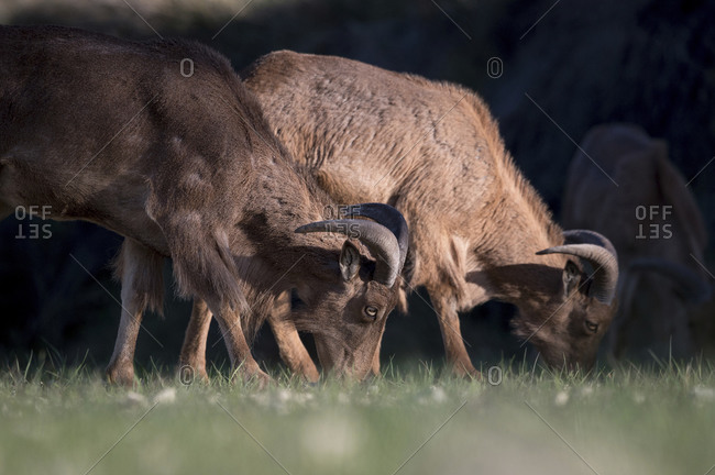 Flock of wild sheep with brown fur and curved horns ranging in bushes