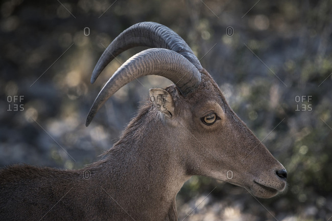 Wild sheep with brown fur and curved horns ranging in bushes