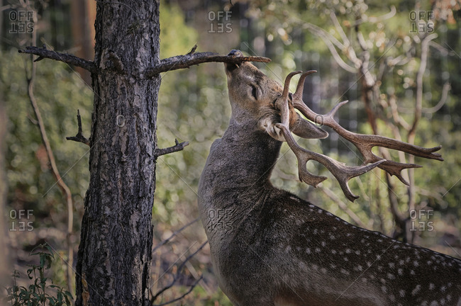 Peaceful young wild fallow deer with spots grazing in forest on blurred background of green plants and woods