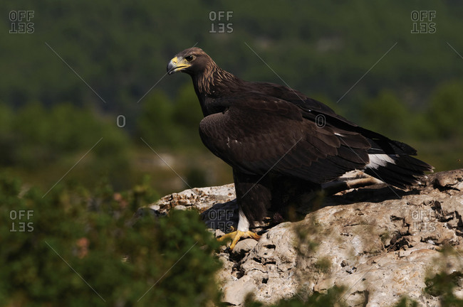 Golden eagle resting in summer day