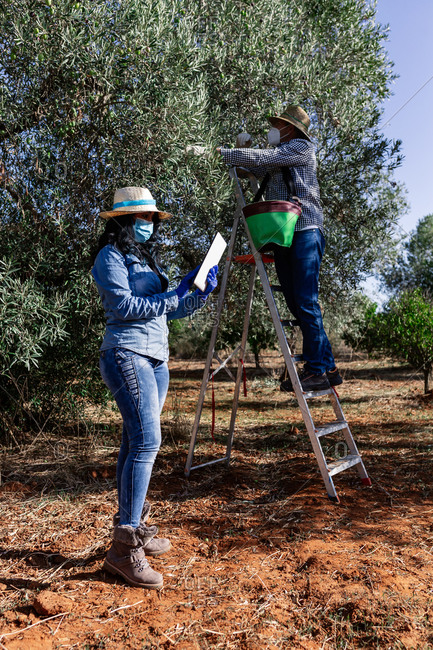 Full body of workers in protective masks and gloves collecting ripe fruits while using tablet computer in garden