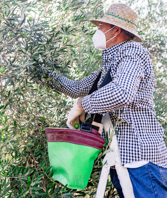 From below side view of mature man standing on stepladder in gloves and mask picking ripe olives while harvesting in farm