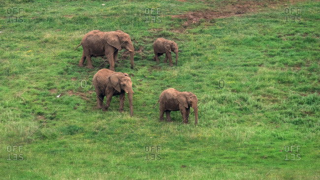 High angle of family of African elephants walking along green grassy terrain in natural environment