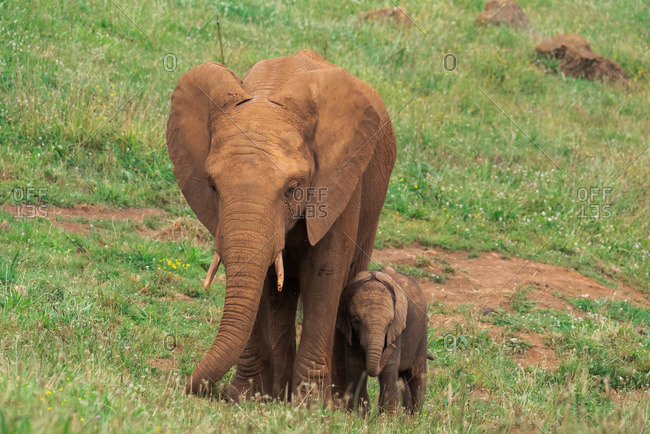 Female and baby African elephants walking up slope together in grassy savanna in natural environment in summer