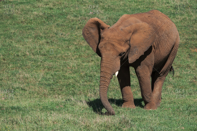High angle side view of African elephant grazing in grassy lawn in natural reserve on sunny day