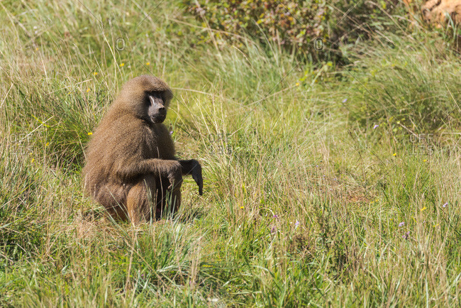 Side view of fluffy baboon relaxing on meadow in natural habitat on sunny day
