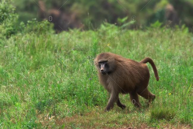 Monkey walking along trail in forest
