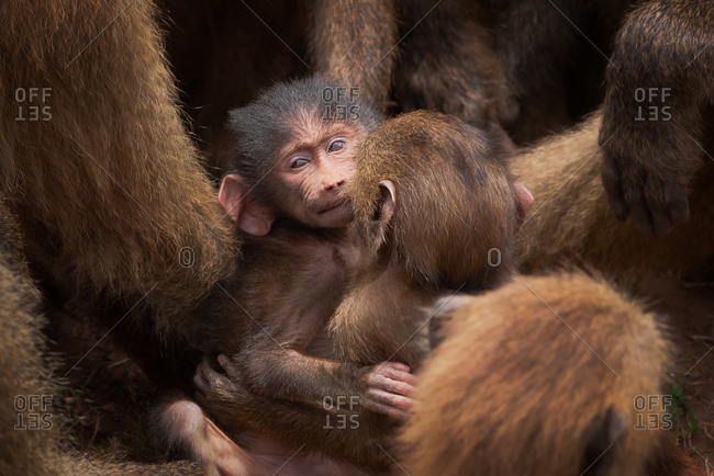 Cute fluffy baby monkeys tenderly cuddling while sitting in natural habitat surrounded by adult creatures