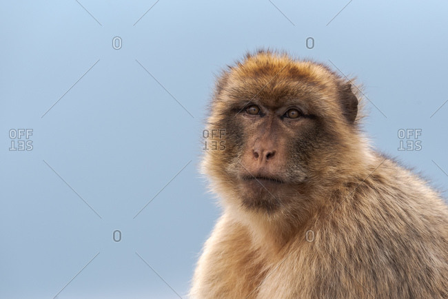 Cute Barbary macaque with fluffy muzzle looking calmly at camera against blue sky in nature