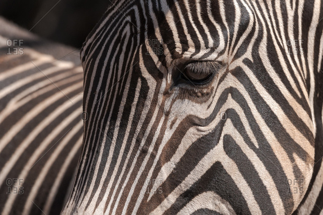 Closeup of muzzle of cute wild zebra with striped fur standing in nature