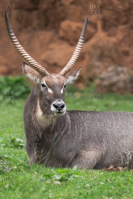 Adult wild common eland or Taurotragus oryx with spiral horns resting on green pasture in nature