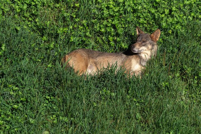 Alert wild Iberian wolf or Canis lupus signatus standing among green grass in nature
