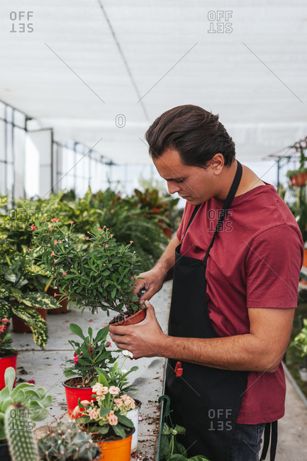 Side view of serious male gardener in apron transplanting blooming plant in pot while working in hothouse