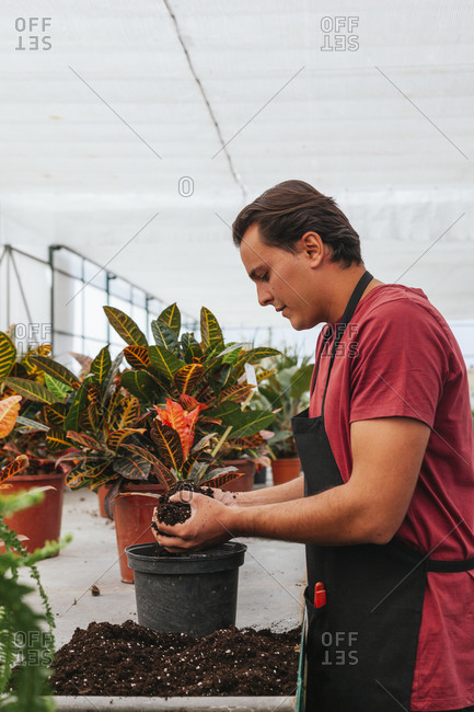 Side view of busy male gardener in apron transplanting Codiaeum plant in hothouse