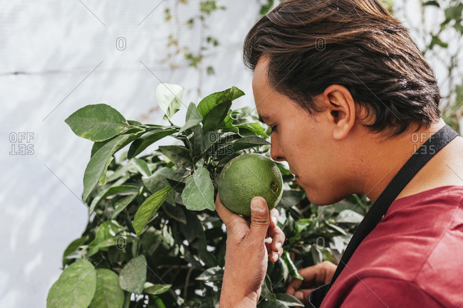 Man with brown hair in casual clothes standing with closed eyes and sniffing fresh lime growing on tree