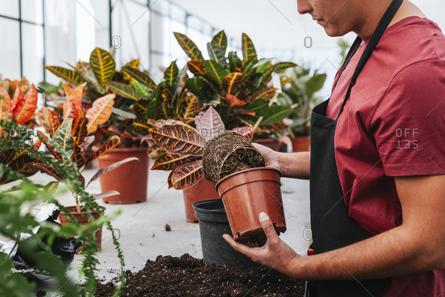 Thoughtful responsible male in T shirt and apron taking care of potted flowers in spacious greenhouse