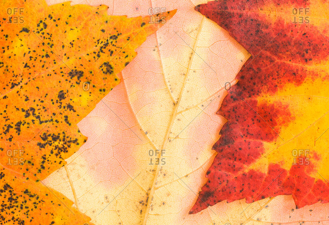 Closeup of Scarlet maple Acer rubrum leaves as they turn color in Autumn