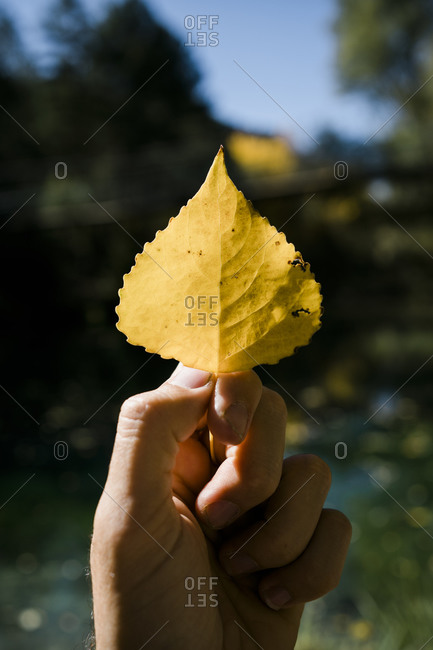 Crop hand of unrecognizable traveler holding yellow leaf of autumn tree against blurred forest in sunny day