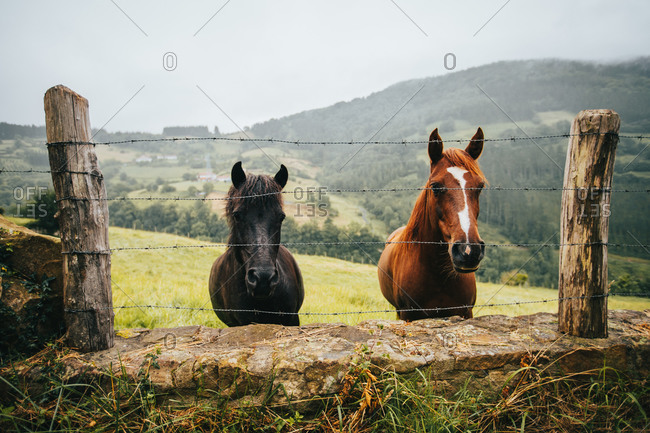 Stallions on grass meadow behind fence and mounts with trees under sky in countryside