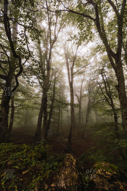Scenic view of trees on thin trunks on hill in woods covered with mist in daylight
