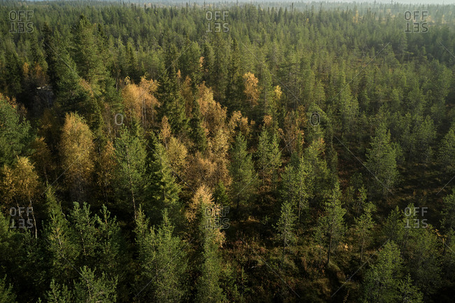 Majestic aerial view of coniferous woods with yellow and green trees lit by sunlight in autumn