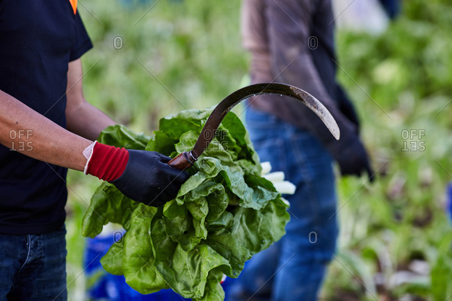 Side view of unrecognizable male farmer standing with bunch of fresh green lettuce in countryside in harvest season