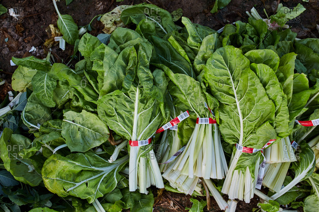 Top view of bunches of ripe lettuce placed in pile on ground in countryside in harvest season