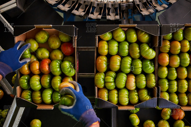 From above of crop unrecognizable worker putting fresh green tomatoes in cardboard boxes while working on agricultural farm
