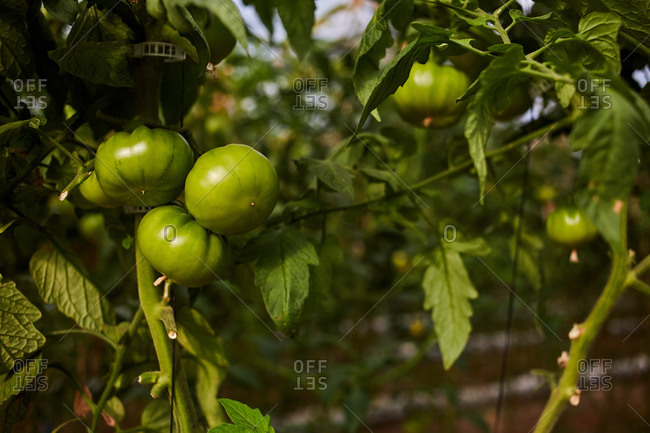 Low angle of bunch of delicious green tomatoes growing in greenhouse in countryside at daytime