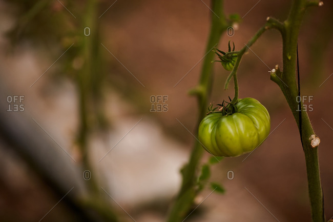 Low angle of delicious green tomatoes growing in greenhouse in countryside at daytime