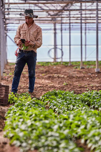Ethnic male standing in hothouse with radish and browsing cellphone while having break during work on farm