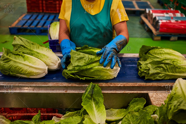 Side view of crop unrecognizable female cutting stumps of lettuce while working in countryside on farm