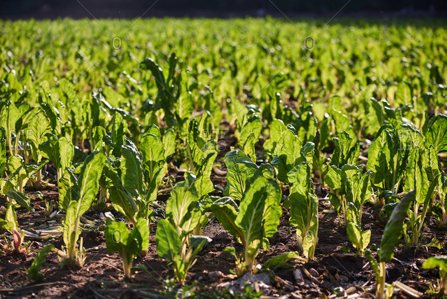 Fresh green lettuce growing on agricultural field on sunny day in harvest season
