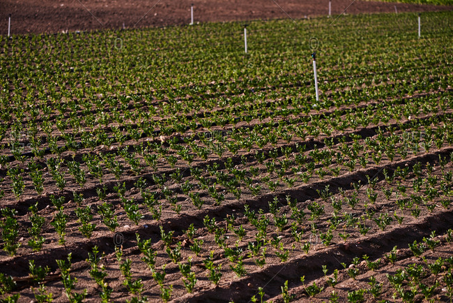 High angle of even rows of ripe green lettuce growing on plantation on farm on sunny day