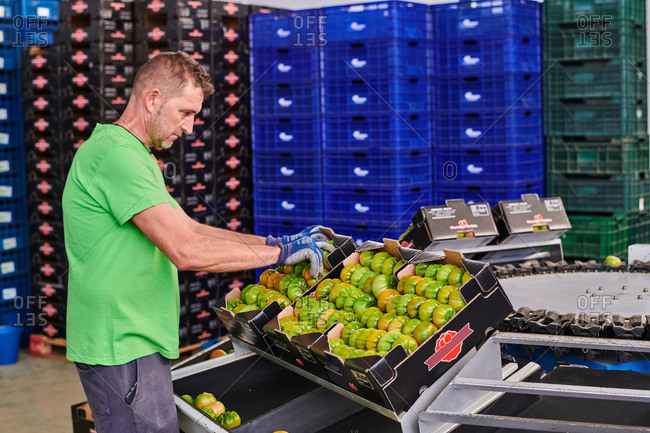 Side view of male worker packing green tomatoes in carton boxes while working in market