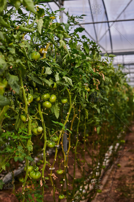 Rows of green tomatoes growing in glass hothouse in summer on agricultural farm