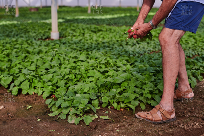 Side view of unrecognizable crop male farmer picking fresh ripe radish in hothouse on farm