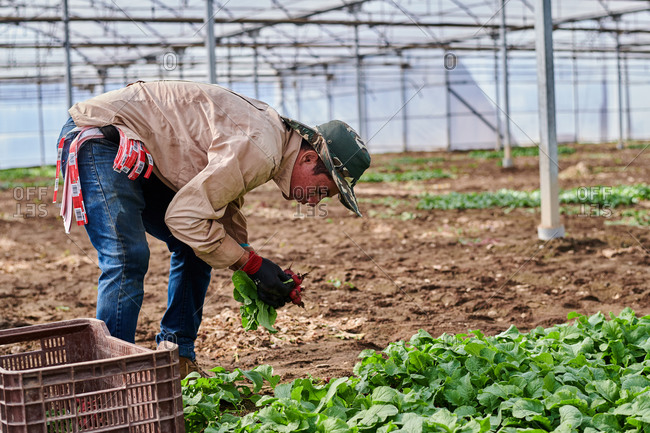 Side view of male farmer picking ripe radish in glasshouse while working on farm in harvest season