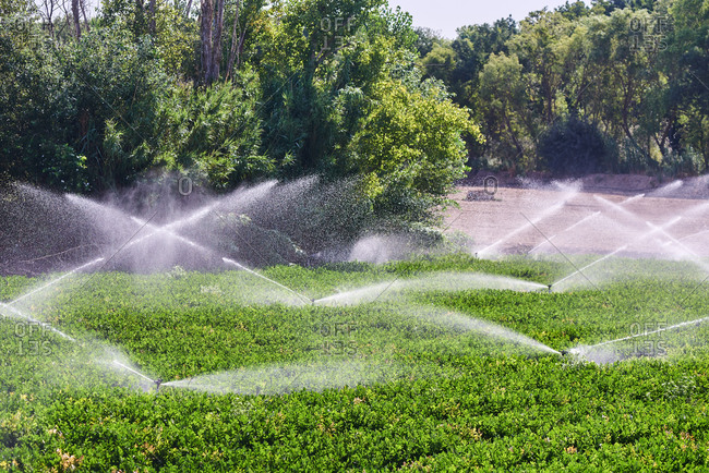 Modern irrigation system with sprinklers watering ripe lettuce growing on sunny day on farm