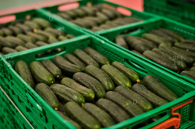 Ripe tasty cucumbers placed in rows in plastic boxes and stacked in facility of agricultural farm