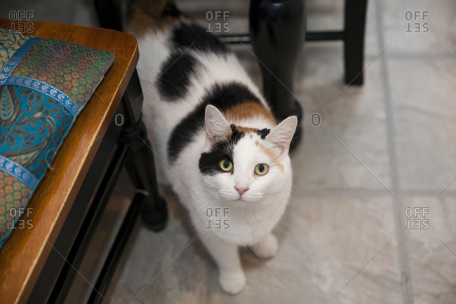 Cat standing on floor between chairs looking up at camera