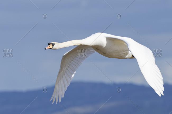 Mute swan (Cygnus olor) cob flying over the River Severn estuary, Gloucestershire, England, United Kingdom, Europe
