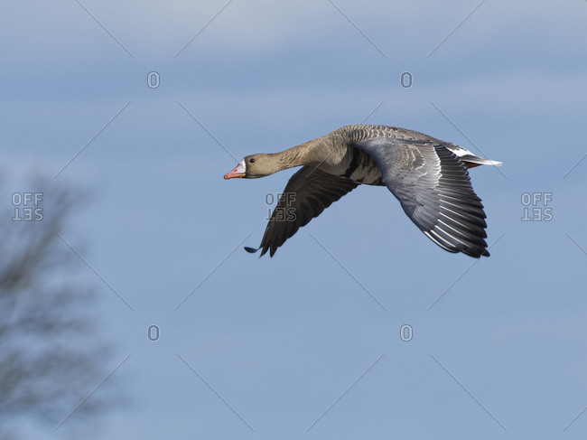 Greater white-fronted goose (Anser albifrons) flying overhead against a blue sky, Gloucestershire, England, United Kingdom, Europe