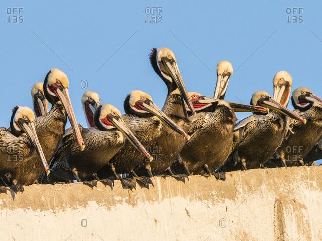 Brown pelicans (Pelecanus occidentalis) at a fish processing plant, Puerto San Carlos, Baja California Sur, Mexico, North America