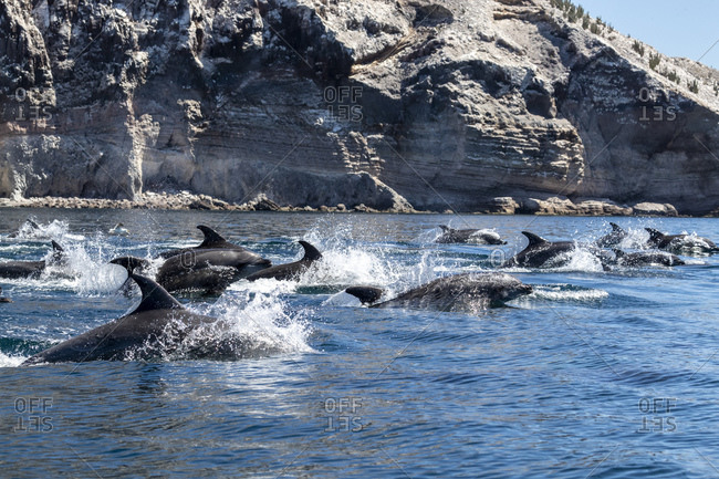 Adult bottlenose dolphins (Tursiops truncatus) surfacing near Isla San Pedro Martir, Baja California, Mexico, North America