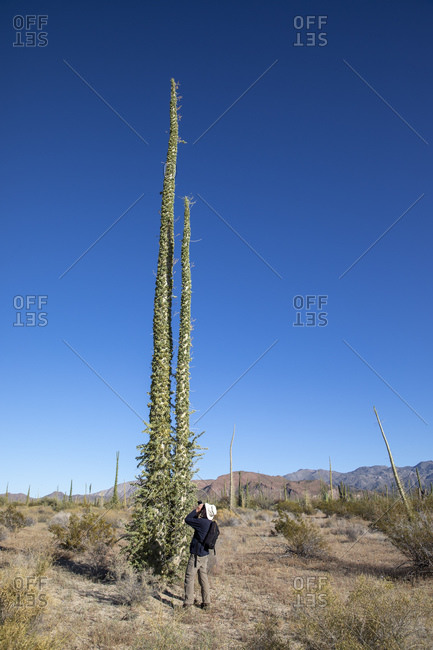 Photographer with boojum tree (Fouquieria columnaris), Bahia de los Angeles, Baja California, Mexico, North America