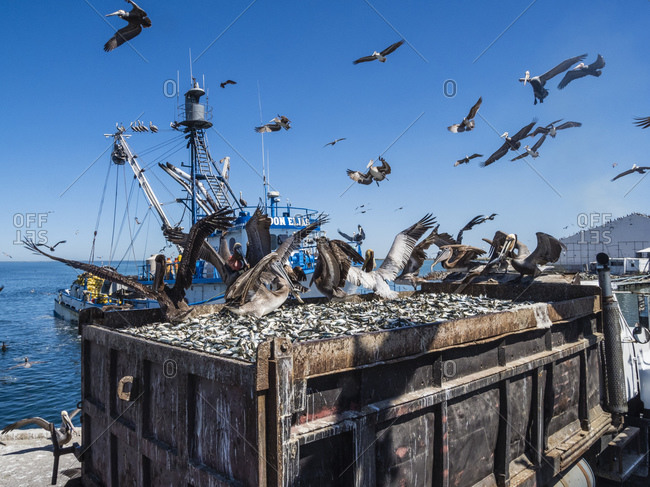 March 19, 2018: Brown pelicans (Pelecanus occidentalis) at a sardine processing plant, Puerto San Carlos, Baja California Sur, Mexico, North America