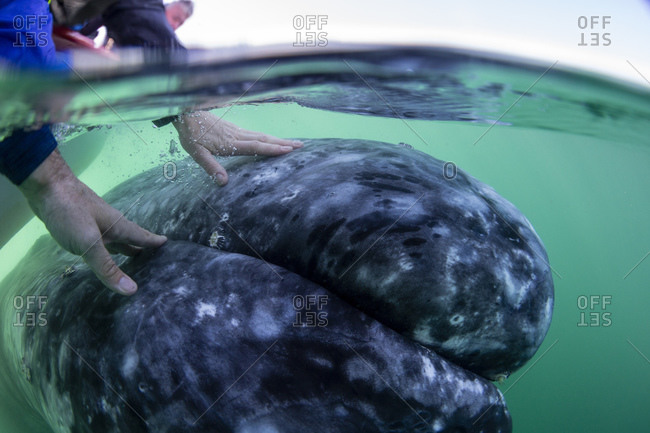 California gray whale calf (Eschrichtius robustus), with human hands, San Ignacio Lagoon, Baja California Sur, Mexico, North America